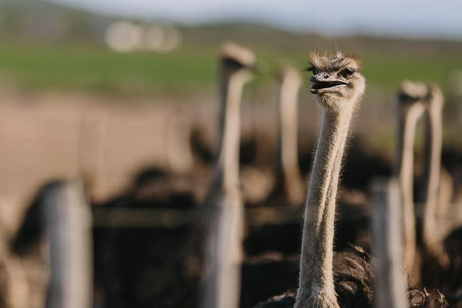 Ostriches on the Ostrich farm tour