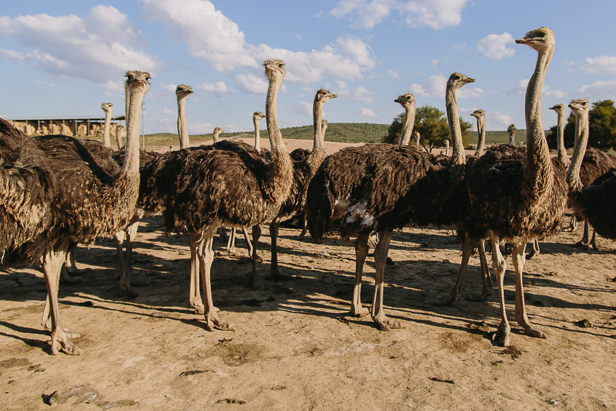 As seen on the Ostrich farm tour