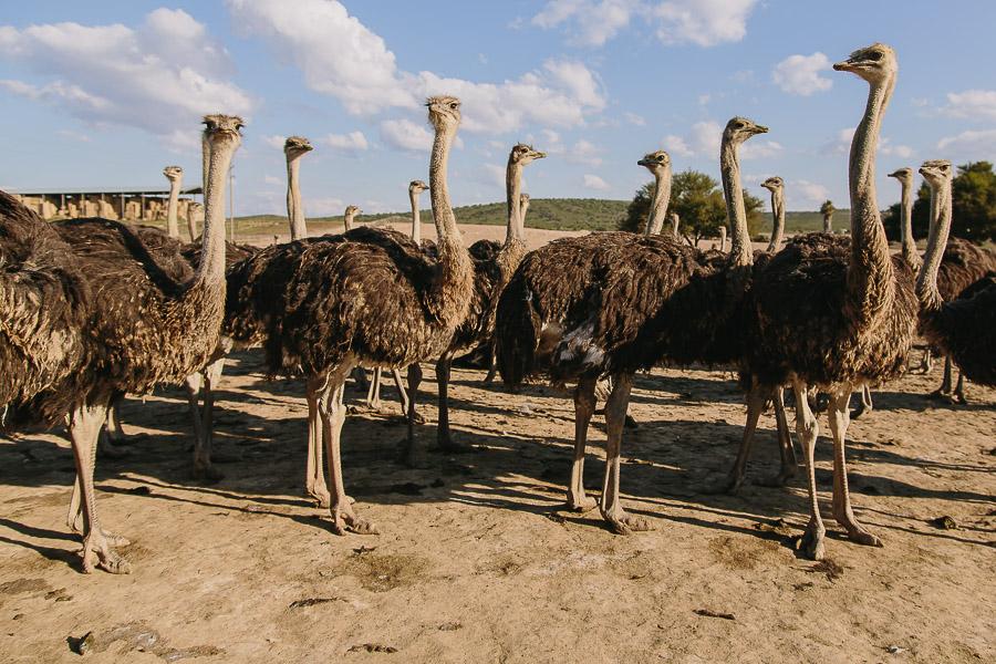 As seen on the Ostrich farm tour
